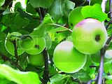 green apples...