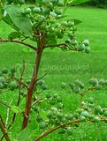 green blue berries...